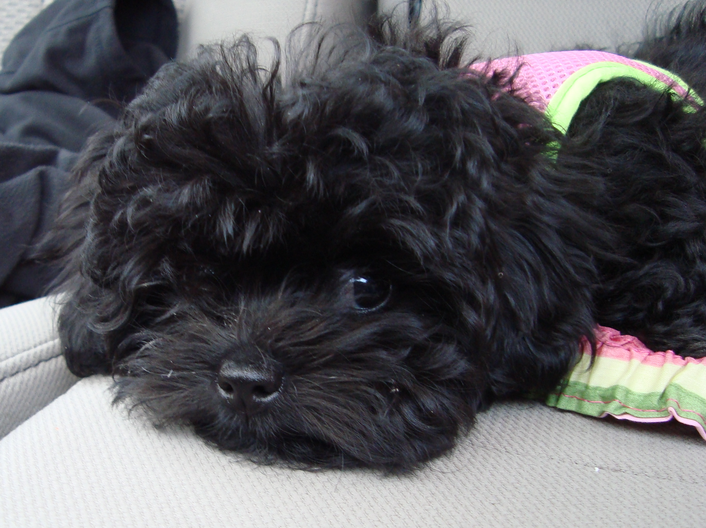 Shih Poo Full Grown Black Images & Pictures - Becuo